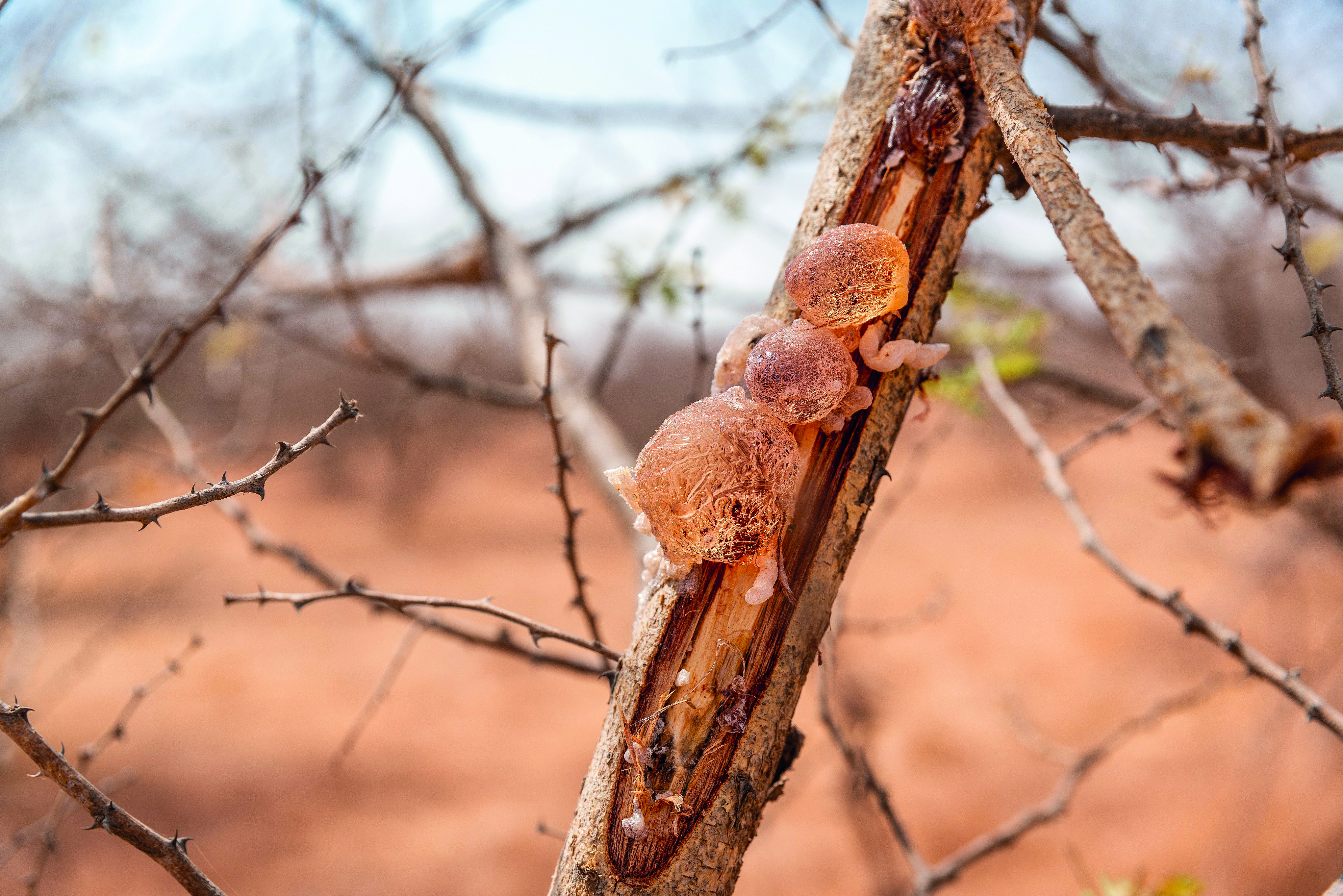 Acacia Gum,  A Versatile Ingredient for Pet Food